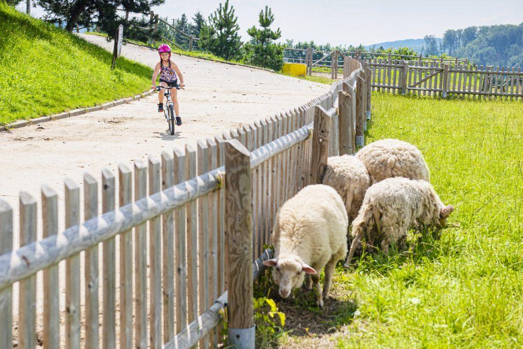 Malá cyklistka projíždí kolem pasoucích se ovcí