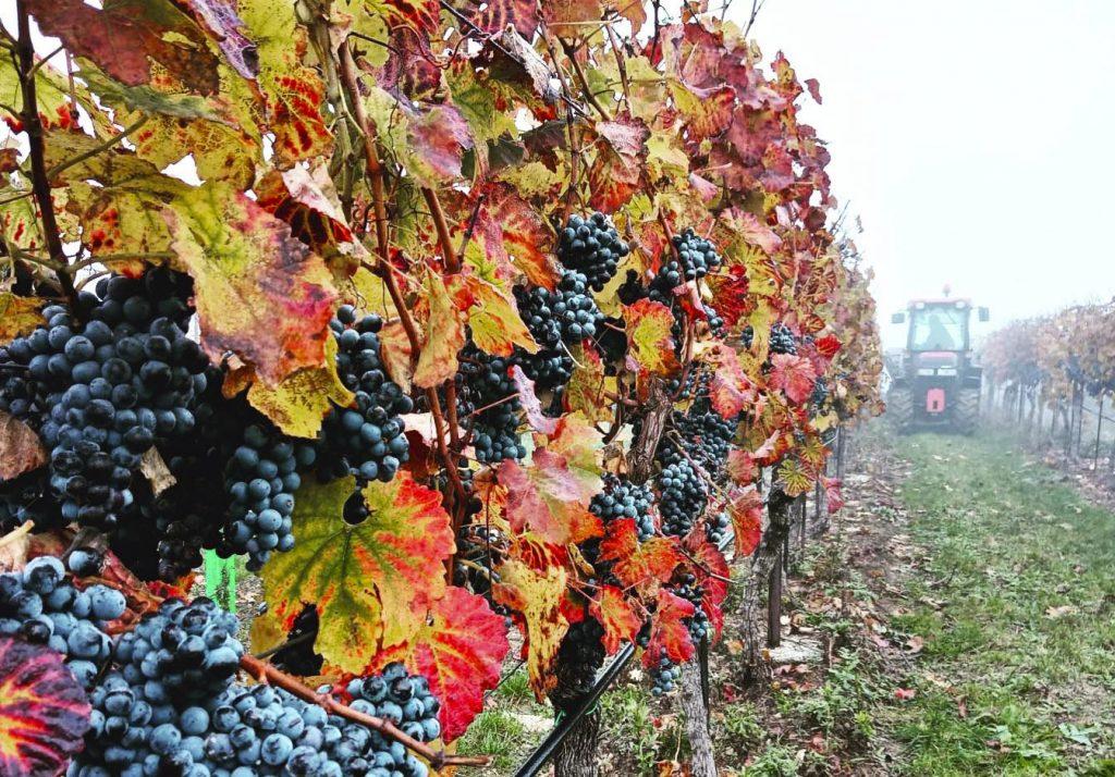 Podzimní sklízení vinohradu v mlze