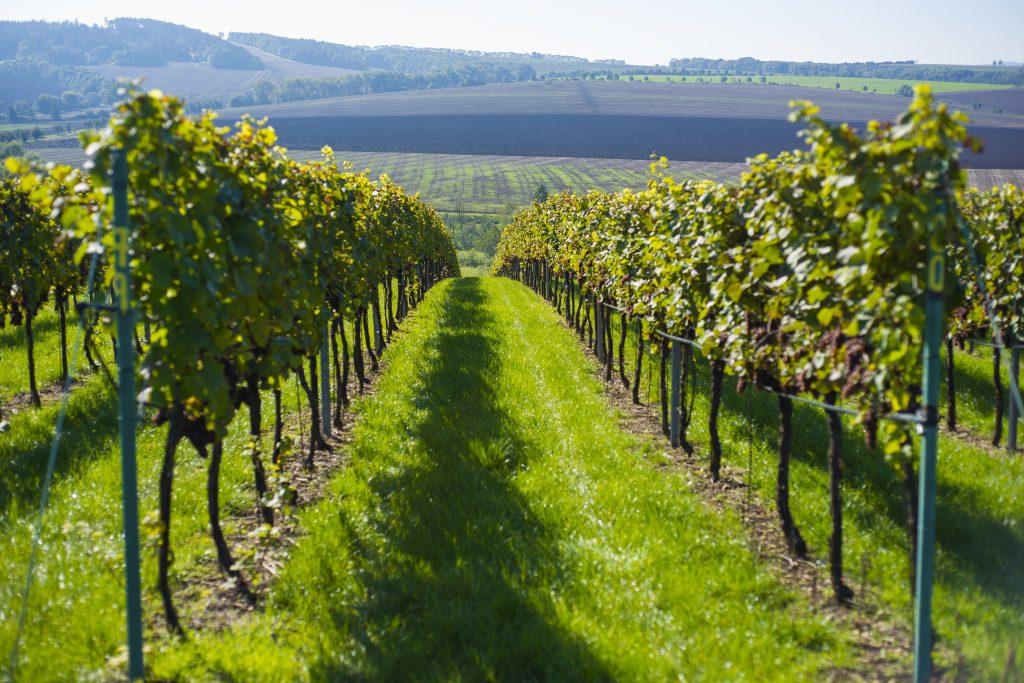 Vinohrad a okolní příroda